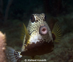 Smooth Trunkfish on the Ledge of Turtles by Michael Kovach 